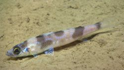Deep sea fish. Shortnose greeneye (Chlorophthalmus agassizi) Photo