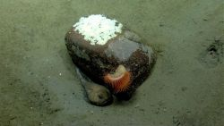 Deep sea fish. Fathead (Cottunculus sp.) residing near rock with large venus flytrap anemone and fish eggs on rock Photo