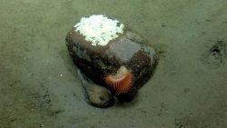 Deep sea fish. Fathead (Cottunculus sp.) residing near rock with large venus flytrap anemone and fish eggs on rock Photo
