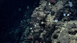Looking at a vertical basalt wall on Mytilus Seamount with numerous sponges and brisingid starfish. Photo