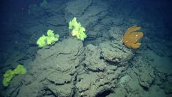 Large yellow sponges and a large golden gorgonian coral. Photo