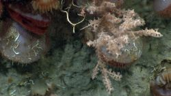 Acesta clams, cup corals, a small dead coral (white) with numerous small crustaceans, and whitish pink octocoral Photo