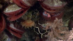 Closer inspection reveals small a small Paragorgia coral, serpulid worm tubes, small sponges, and pinkish octocoral. Photo