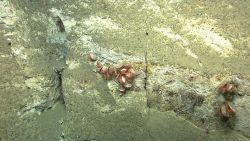 Acesta clams Photo