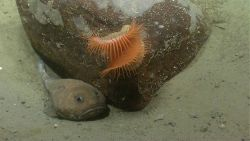 A cottunculus fathead fish next to a boulder with a large orange venus flytrap anemone. Photo