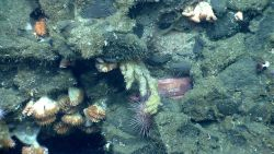 An orange rockling, acanthogorgia coral, cup corals, a large pink sea urchin, small white worm tubes, and small hydroids Photo