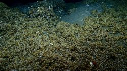 A field of bathymodiolus mussels at a cold seep site Photo