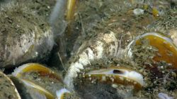 Bathymodiolus mussels covered with small barnacles Photo