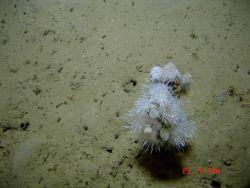 Dandelion-like anemones and lollipop sponges. Photo