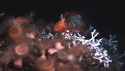 Lophelia pertusa coral, large peach-colored anemones, and a large squat lobster. Photo