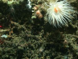 A large white anemone with orange mouth dominates this image but additional biota include small peach colored anemones, tube worms, lophelia pertusa c Photo