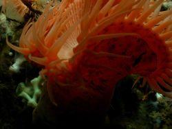 Venus flytrap anemone (Actinoscyphia saginata) Photo