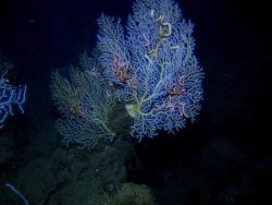 Deep sea coral Photo