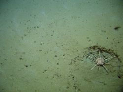 A pencil urchin in a depression on the seafloor. Photo