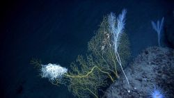 A large basket star seemingly defying gravity on the branch of a paramuricid coral Photo