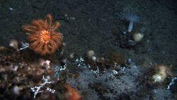 A large brisingid starfish dominates this view Photo