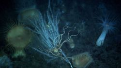A brittle star with legs extended on a bamboo coral Photo