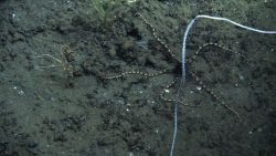 A striking brittle star with black central disk and banded black and yellow brown arms below a bamboo whip coral Photo