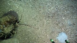 A brown and black banded brittle star next to a small boulder on a sand and shell substrate. Photo