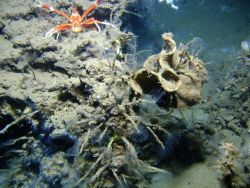 An outcrop in a cold seep area with a large orange and white squat lobster and numerous tube worms with feeding tentacles extended. Photo