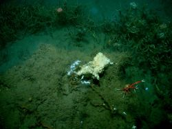 A cold seep site with lamellibrachian tube worms, an orange and white squat lobster with long chelae, and an orange anemone at top of image Photo