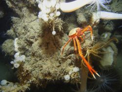 Large white anemones with orange mouth, yellow feather star crinoid, lollipop sponges, and a large orange and white squat lobster with chelae extended Photo