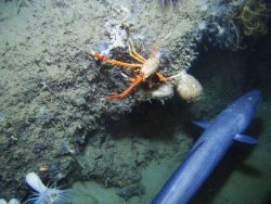 A large cusk eel, a large orange and white squat lobster, a small tan colored squat lobster in the lower left, some worm tubes, a large white anemone, Photo