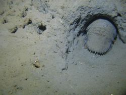 A giant isopod in a burrow. Photo