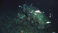 Deep sea fish. A school of Atlantic roughy, Hoplostethus occidentalis, Photo