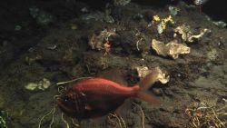 Deep sea fish. An Atlantic roughy, Hoplostethus occidentalis Photo