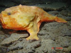 Deep sea fish. A redeye gaper (Chaunax stigmaeus). Photo