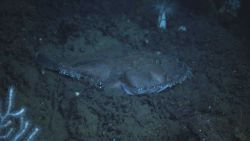 Deep sea fish. Goosefish (Lophius americanus). Photo