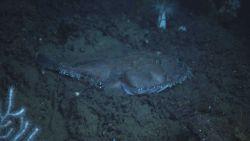 Deep sea fish. Goosefish (Lophius americanus). Photo