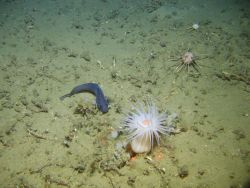 Longfin hake with large white anemone with orange mouth, two pencil urchins, small sponges, worm tubes, and broken lophelia coral. Photo
