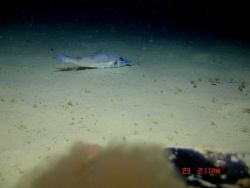 Deep sea fish. Duckbill flathead? (Bembrops anatirostris?) Photo