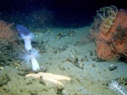 A large white sea star, orange octocorals, yellow crinoids, white anemomes, and a purple pyrosome in the left background. Photo