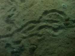 Sea urchin or holothurian trails in soft unconsolidated sediment. Photo