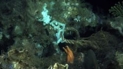 Sponges, hydroids, a large sea star, and marine debris consisting of a large rope. Photo