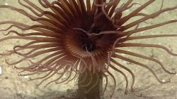 Closeup of a brown cerianthid tube anemone. Photo