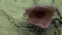A large pinkish white flytrap anemone. Photo