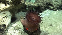 A large brownish anemone on a rock outcrop. Photo