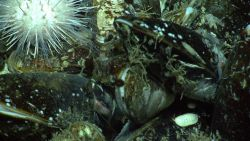 Mussels, an urchin, a chiton, two shrimp, and the nose of an eel pout which is just barely visible at a cold seep site. Photo