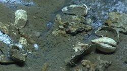 Cold seep site with many dead bi-valves and what appears to be a single large living clam on right center of image Photo