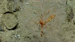 The flat-claw coral squat lobster (Uropthychus nitidus) always is found among the golden sea fan, Chrysogorgia sp. Photo
