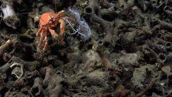 A googly-eyed orange squat lobster on a lophelia debris pile. Photo