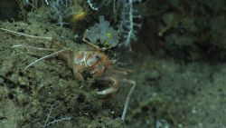Bathyal swimming crab (Bathynectes longispinus), small white glass sponge with yellow zoanthids, and small white octocorals. Photo
