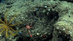 A red squat lobster and a yellow crinoid feather star. Photo