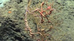 Numerous large brittle stars and a large pink squat lobster in an ocotocoral bush. Photo