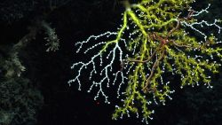 A pink brittle star is seen on a white octocoral bush being overtaken by yellow zoanthids. Photo