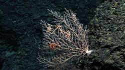 A small pink octocoral bush with delicate polyps Image